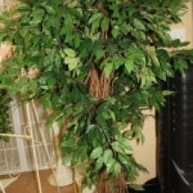 FICUS TREE GREEN